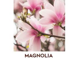 Magnolia dei Conti di Como