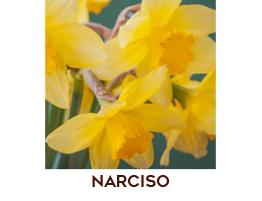Narciso dei Marchesi Siciliani