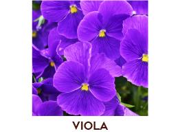 Viola della Duchessa di Parma