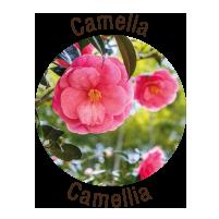 loghetto-camelia